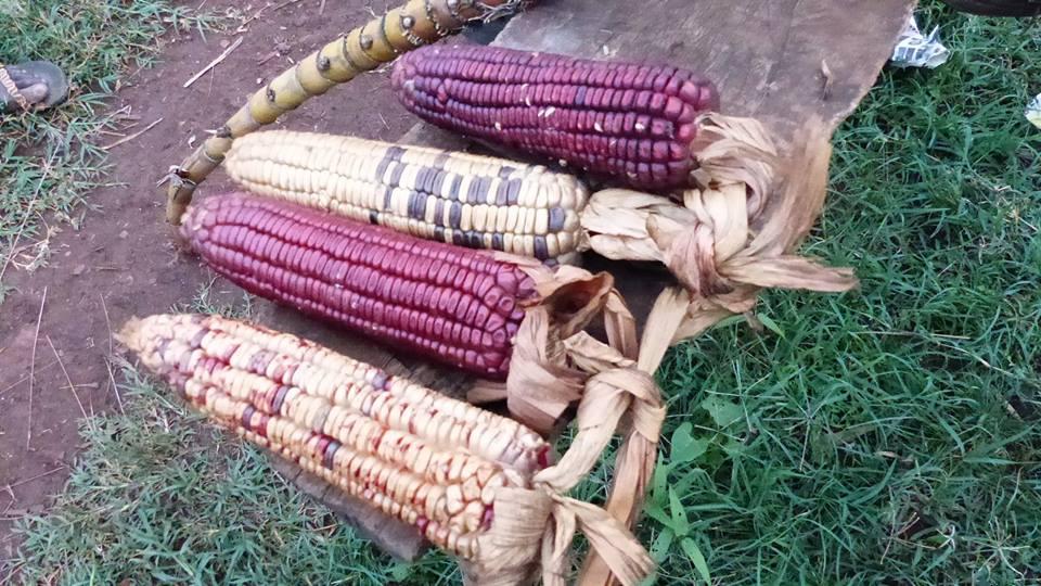 Mais aus einem Community Garten © Samson Kiiru, Facebook